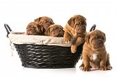 picture of dogue de bordeaux  - litter of puppies in a basket  - JPG