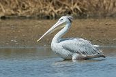 Pink-backed Pelican Standing In The Mangroves