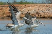 Pink-backed Pelicans Rushing Forward To Catch Fish