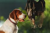 stock photo of snipe  - Gun dog near to trophies horizontal outdoors