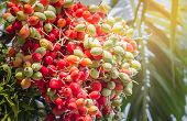 stock photo of raja  - close up ripen fruit of lipstick palm or sealing-wax palm or raja palm under sunlight
