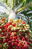 foto of raja  - close up ripen fruit of lipstick palm or sealing - JPG