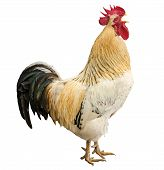 stock photo of rooster  - An adult rooster isolated on white background.