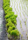 stock photo of bangladesh  - Bundle of rice seedlings beside a rural agriculture field in Bangladesh