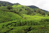 pic of cameron highland  - Tea plantation in Cameron Highlands in Malaysia - JPG