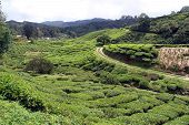 foto of cameron highland  - Road and tea plantation in Cameron Highlands Malaysia - JPG