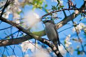 pic of nightingale  - Nightingale sits on a branch of cherry blossoms - JPG