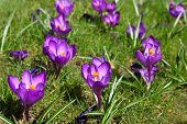 Crocus on green grass