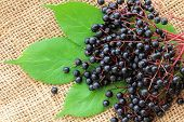 pic of elderberry  - Freshly picked Elderberry  - JPG