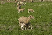 picture of alfalfa  - a closeup of lambs feeding from a ewe in a alfalfa pasture - JPG
