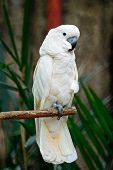 picture of cockatoos  - Beautiful pale pink Cockatoo Moluccan or Seram Cockatoo  - JPG