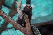 image of marmosets  - Close up Common Marmoset on the tree - JPG