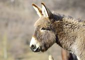 pic of headstrong  - Old grey donkey at farm in spring - JPG