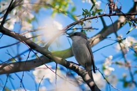 stock photo of nightingale  - Nightingale sits on a branch of cherry blossoms - JPG