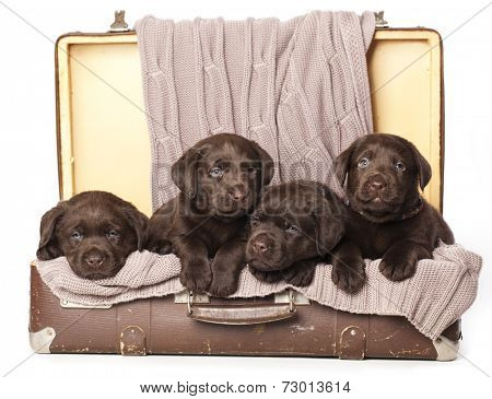 chocolate puppies of Labrador Retriever amicably sitting in brown vintage leather suitcase