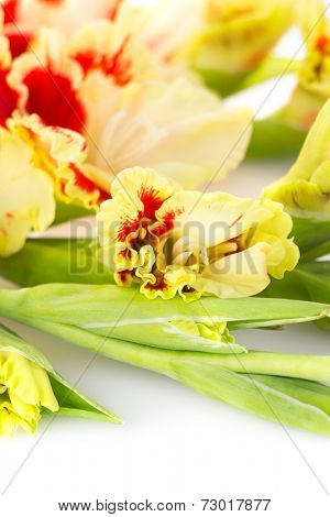 Fresh bright red and yellow gladiolus isolated on white background \ vertical
