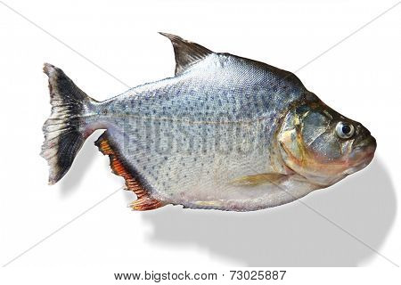 Close-up of silver piranha fish over white background