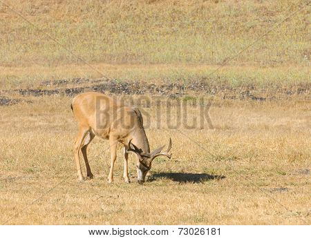 Forked horn (antler) Black-tailed buck grazing in California