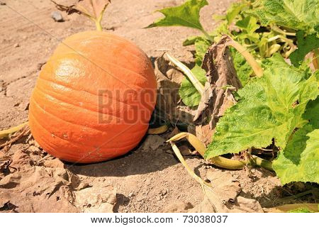 Pumpkins growing in a Pumpkin Patch. A pumpkin is a cultivar of the squash plant, most commonly of Cucurbita pepo, that is round, with smooth, ribbed skin and deep yellow to orange coloration.