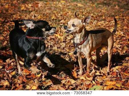 tiny chihuahuas playing in the leaves during a sunny fall or autumn day