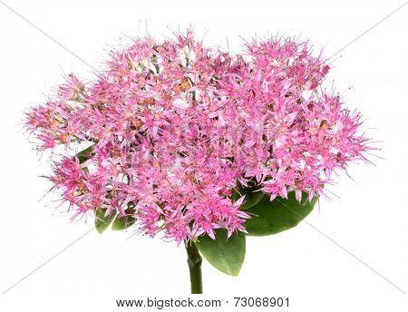 Showy stonecrop flower Hylotelephium spectabile