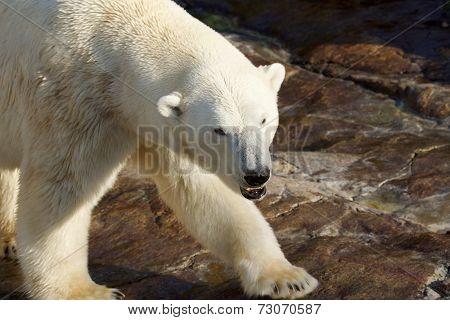 Menacing Polar Bear