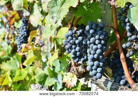 Grapes in Lavaux region, Switzerland