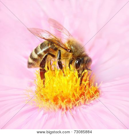 The European honey bee pollinating of a Aster.