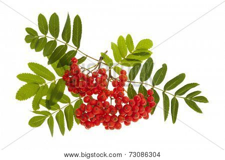 Bunch of red mountain ash or rowan berries with green leaves isolated on white background