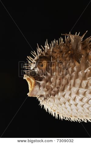 Taxidermal Inflated Puffer Fish, Studio Shot, Cropped