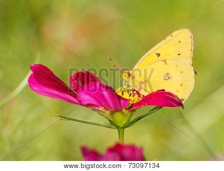 Colias eurytheme, Orange Sulphur butterfly, feeding on a deep red Cosmos flower