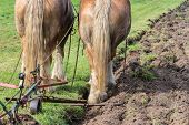 picture of horse plowing  - Two brown draft horses with a traditional plough - JPG