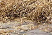 picture of threshing  - Cereals at a Dutch threshing floor drying in the sun - JPG