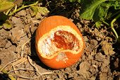 picture of field mouse  - A pumpkin growing in a field shows signs of being eaten by some little creature - JPG