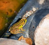 pic of orange frog  - Frog - JPG