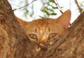 stock photo of peeping tom  - Ginger tom cat peeping from behind a tree - JPG