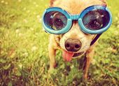 pic of goggles  - a cute chihuahua wearing goggles in the grass with his tongue out toned with a retro vintage instagram filter effect  - JPG