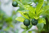stock photo of tropical plants  - A healthy calamansi tropical lime plant growing healthy outdoors - JPG