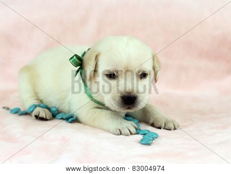 Labrador Puppy On The Pink Background With Turquoise Bead