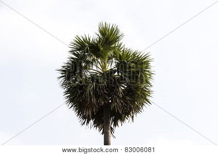 Asian palmyra palm, toddy palm, or sugar palm tree on a clear sky background