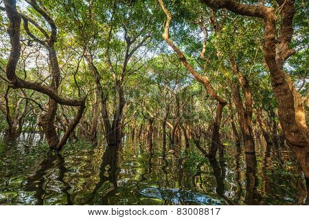 Flooded trees in mangrove rain forest. Kampong Phluk village. Cambodia