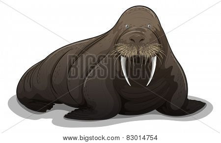 Illustration of a close up walrus