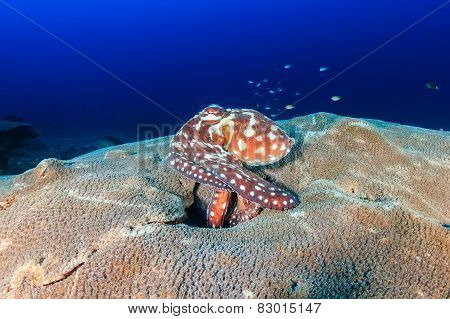 Octopus On A Coral