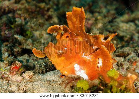 Rhinopias (paddle-flap) Scorpionfish