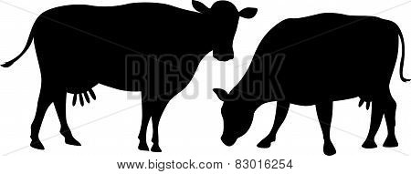 Cow Silhouette Grazes An Standing Isolated On White Background
