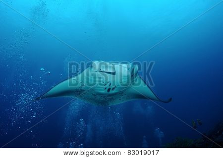 Manta Ray In Bubbles