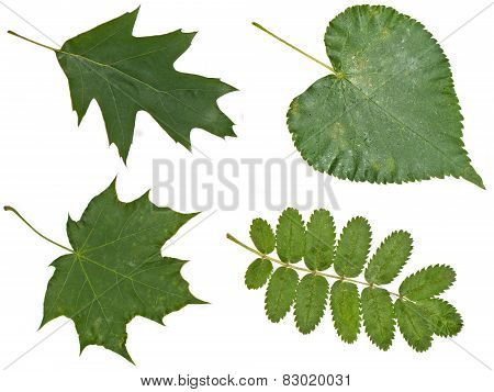 Oak, Rowan, Maple, Poplar Leaves Closeup
