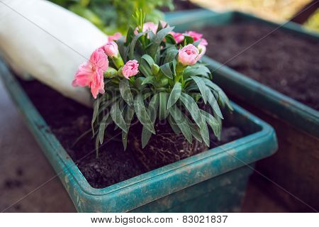 Gardener planting the flowers in spring. Spring works