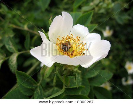 Bee On White Briar Flower