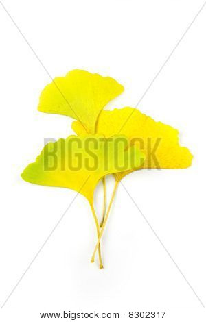 Autumn Ginkgo Biloba Leaves / Beautiful Composition / Isolated On White